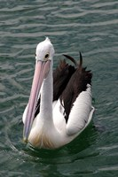 Pelican, Sydney Harbor, Australia by David Wall - various sizes, FulcrumGallery.com brand