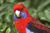 Crimson Rosellas, O'Reilly's Rainforest, Lamington National Park, Queensland, Australia by David Wall - various sizes