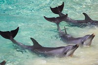 Dolphins, Sea World, Gold Coast, Queensland, Australia Fine Art Print