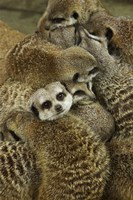 Meerkat Protecting Young, Australia by David Wall - various sizes