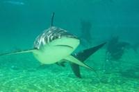 Shark, Sea World, Gold Coast, Queensland, Australia by David Wall - various sizes - $32.99