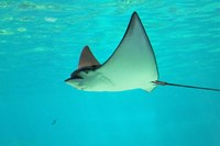 Sting Ray, Sea World, Gold Coast, Queensland, Australia by David Wall - various sizes