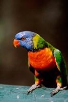 Australia, Queensland, Rainbow lorikeet bird by Cindy Miller Hopkins - various sizes