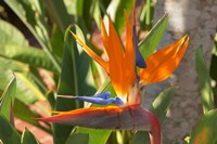 Bird-of-Paradise Flower, Sunshine Coast, Queensland, Australia Fine Art Print