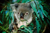 Koala Eating, Rockhampton, Queensland, Australia Fine Art Print