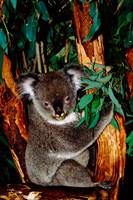 Koala on Eucalyptus, Featherdale Wildlife Park, Sydney, Australia Fine Art Print