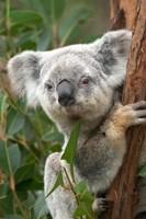 Koala, Australia Framed Print