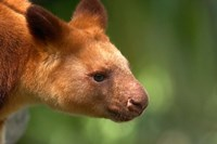 Tree Kangaroo, Australia by David Wall - various sizes
