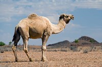 Camel near Stuart Highway, Outback, Northern Territory, Australia by David Wall - various sizes