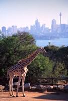 Giraffe, Taronga Zoo, Sydney, Australia by David Wall - various sizes