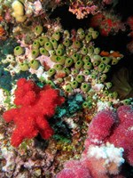Coral, Agincourt Reef, Great Barrier Reef, North Queensland, Australia by David Wall - various sizes - $37.49