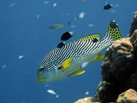 Diagonal-Banded Sweetlips, Great Barrier Reef, Australia Fine Art Print