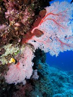 Fan Coral, Agincourt Reef, Great Barrier Reef, North Queensland, Australia by David Wall - various sizes - $37.49
