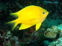 Golden Damsel fish, Great Barrier Reef, Australia Fine Art Print