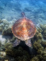 Green Turtle, Low Isles, Great Barrier Reef, North Queensland, Australia Fine Art Print