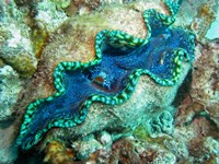 Outlet Siphon, Giant Clam, Agincourt Reef, Great Barrier Reef, North Queensland, Australia by David Wall - various sizes