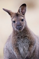 Close up of Red-necked and Bennett's Wallaby wildlife, Australia Framed Print