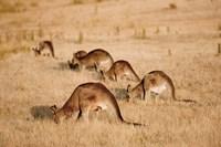 Eastern Grey Kangaroo group grazing Fine Art Print