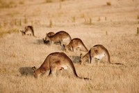 Eastern Grey Kangaroo group grazing Fine Art Print