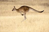 Eastern Grey Kangaroo, Tasmania, Australia Fine Art Print
