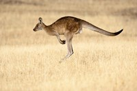 Eastern Grey Kangaroo, Tasmania, Australia by Martin Zwick - various sizes