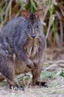 Tasmanian Pademelon wildlife, Tasmania, Australia by Martin Zwick - various sizes
