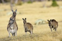 Eastern Grey Kangaroo group standing upright Fine Art Print