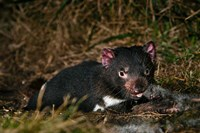 Tasmanian Devil wildlife eating carrion, Tasmania by Martin Zwick - various sizes