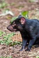 Tasmanian Devil wildlife, Tasmania, Australia by Martin Zwick - various sizes