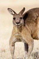 Eastern Grey Kangaroo portrait Fine Art Print