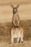 Eastern Grey Kangaroo portrait frontal Fine Art Print