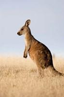 Eastern Grey Kangaroo portrait lateral view Fine Art Print