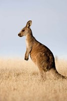 Eastern Grey Kangaroo portrait lateral view by Martin Zwick - various sizes