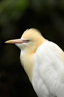 Cattle Egret (Ardea ibis), North Queensland, Australia Fine Art Print