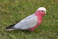 Galah bird, Nambucca Heads, New South Wales, Australia by David Wall - various sizes - $29.49