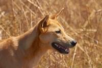 Dingo wildlife, Kakadu NP, Northern Territory, Australia by David Wall - various sizes