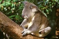 Koala, Australia Fine Art Print