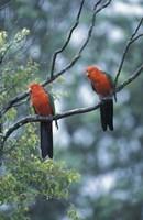 Male Australian King Parrots, Queensland, Australia Fine Art Print