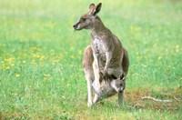Australia, Kangaroo Island, Western Gray Kangaroos Fine Art Print