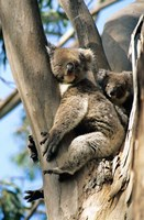 Mother and Baby Koala on Blue Gum, Kangaroo Island, Australia Fine Art Print