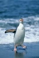 Royal Penguin Macquarie Austalian sub-Antarctic