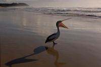 Australian pelican bird on the beach, Stradbroke Island, Australia by Pete Oxford - various sizes