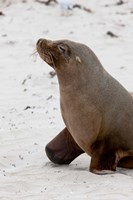 Australian Sea Lion, Kangaroo Island, Australia by Martin Zwick - various sizes - $37.49