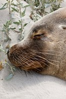 Australian Sea Lion, Seal Bay Conservation Park,  South Australia by Martin Zwick - various sizes - $37.49