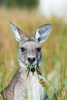 Eastern grey kangaroo eating, Australia Fine Art Print