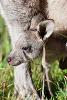 Head of Eastern grey kangaroo, Australia Fine Art Print