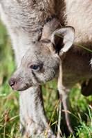 Head of Eastern grey kangaroo, Australia Fine Art Print