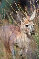 Red kangaroo (Macropus rufus), Australia Fine Art Print