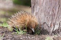 Short-beaked Echidna wildlife, Australia by Martin Zwick - various sizes