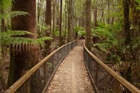 Tall Trees Walk, Mount Field National Park, Tasmania, Australia Fine Art Print